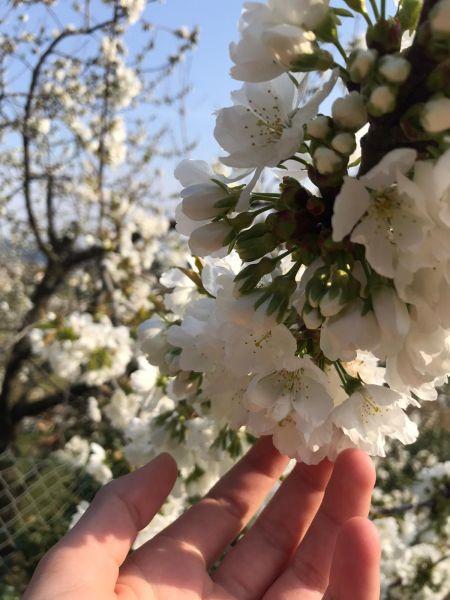 Le printemps arrive avec les cerisiers en fleurs